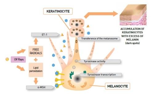 melanogenesis DSP