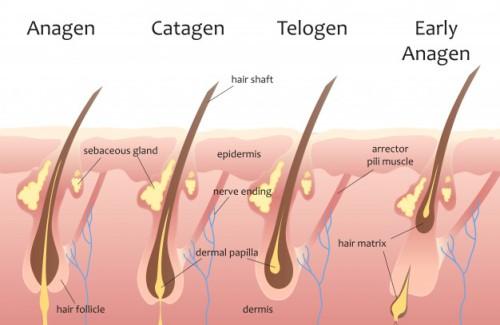 human-head-hair-growth-cycle_88272-625