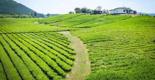 ชาเขียวเจจู